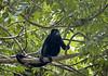 Golden-mantled Howler (Alouatta palliata palliata) - 1 of 4 monkey species native to Costa Rica