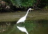 Great Egret (Ardea alba) - also known as the Great White Egret - yellow bill, black legs and feet - measuring about 3 ft. (91 cm) in height.