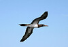 Brown Booby (Sula leucogaster) - a large seabird, measuring about 2.5 ft. (76 cm) in length, with a 4.5 ft. (1.4 m) wingspan - they feed by plunge diving (aerial diving) into the ocean at high speeds