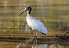 Wood Stork (Mycteria americana) - a wading bird, feeding mainly on fish, tadpoles, crayfish, frogs, mollusks, snails, and insects
