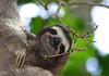 Brown-throated Sloth (Bradypus variegatus) - a species of 3-toed sloth