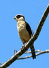 Laughing Falcon ( Herpetotheres cachinnans) - also called the Snake Hawk