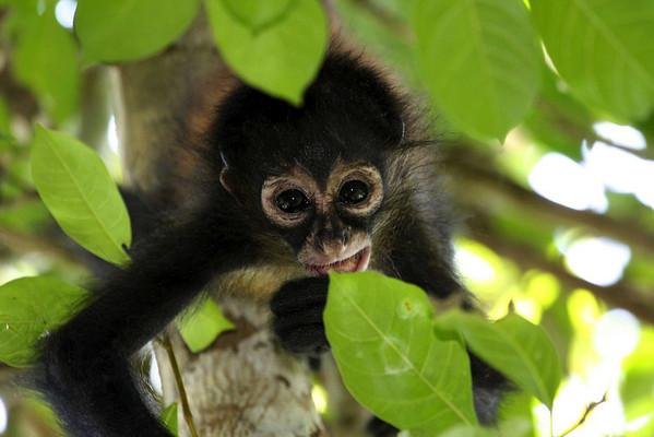 Geoffroy's Spider Monkey (Ateles geoffroyi) - young juvenile