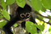 Geoffroy's Spider Monkey (Ateles geoffroyi) - young juvenile