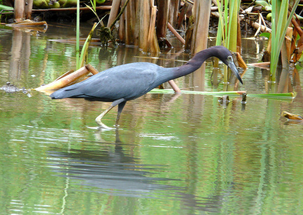 Little Blue Heron (Egretta caerulea) - measuring about 2 ft. (61 cm) long, with a  3 ft. (91 cm) wingspan - with its characteristically purplish head and neck plumage