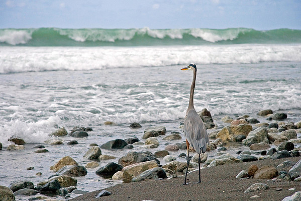 Great Blue Heron (Ardea herodias) - the largest North American heron, measuring about  4.5 ft. (1.4 m) tall, and wingspan around 6.5 ft. (2 m), and a weight of about 8 lb. (3.6 kg)