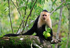 White-faced Capuchin (Cebus cupachinus) - with a freshly pulled fruit, actually gnawed from the limb with its teeth