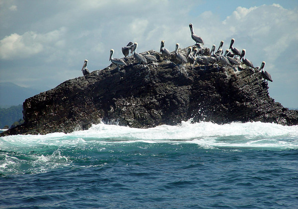 Brown Pelican  (Pelecanus occidentalis) - on a coastal rock outcrop, off the Playa Ballena