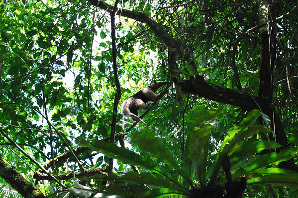 Northern Tamandau (Tamandua mexicana) - a small anteater that feeds on ants, termites, and bees - their mouth only opens to about the diameter of a pencil