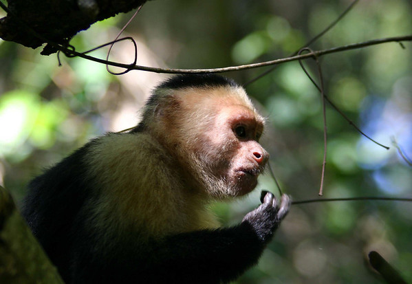 White-faced Capuchin (Cebus cupachinus) - munching on a seed