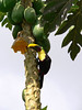 Chestnut Mandibled Toucan - devouring a lower-hanging and ripened Papaya