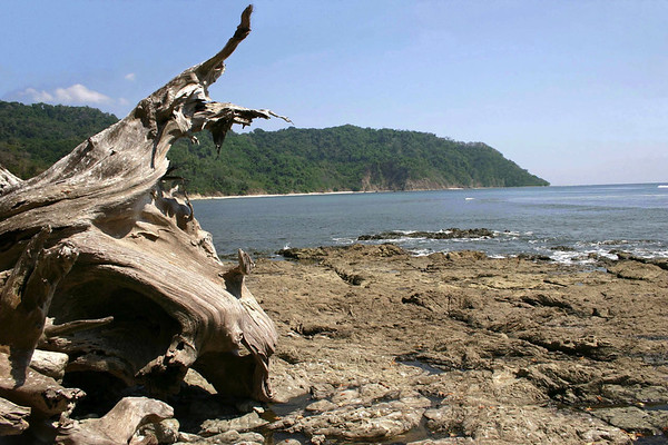 Fallen tree stump at Playa Cabo Blanco (White Cape Beach) at the Cabo Blanco Nature Reserve - located on the southernmost end of the Nicoya Peninsula - Puntarenas province