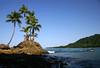 Coconut Palms (Cocos nucifera) - at Punta Salsipuedes - along the La Leona Trail - Corcovado National Park - Osa Peninsula - Puntarenas province