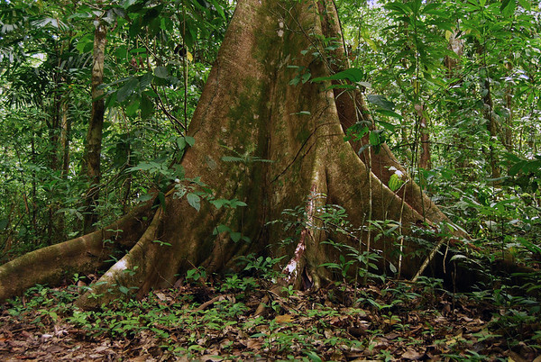 Kapok Tree (Ceiba pentandra) - trunks grow to 10 ft. (3 m) in diameter, and the thin buttresses at the trunk can extend to 30 ft. (9 m) for tree stabilization