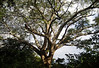 Guanacaste Tree (Enterolobium cyclocarpum) - the national tree of Costa Rica - it grows to about 115 ft. (35 m) tall, with a trunk diameter up to around 10 ft. (3 m) - and develops a broad wide-spreading spherical crown - the bipinnate leaves are like that of a mimosa tree - they are tolerant of a wide range of rainfall levels, temperatures and soil conditions, they can thrive in most tropical low-elevation habitats