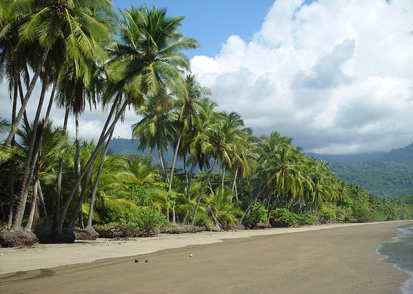 Coconut Palms (Cocos nucifera) - along the Playa Uvita - Marine Whale National Park - Puntarenas province