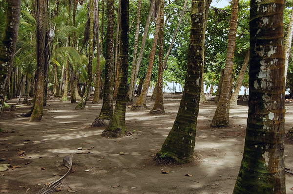Coconut Palms at Playa Dominical - Puntarenas province