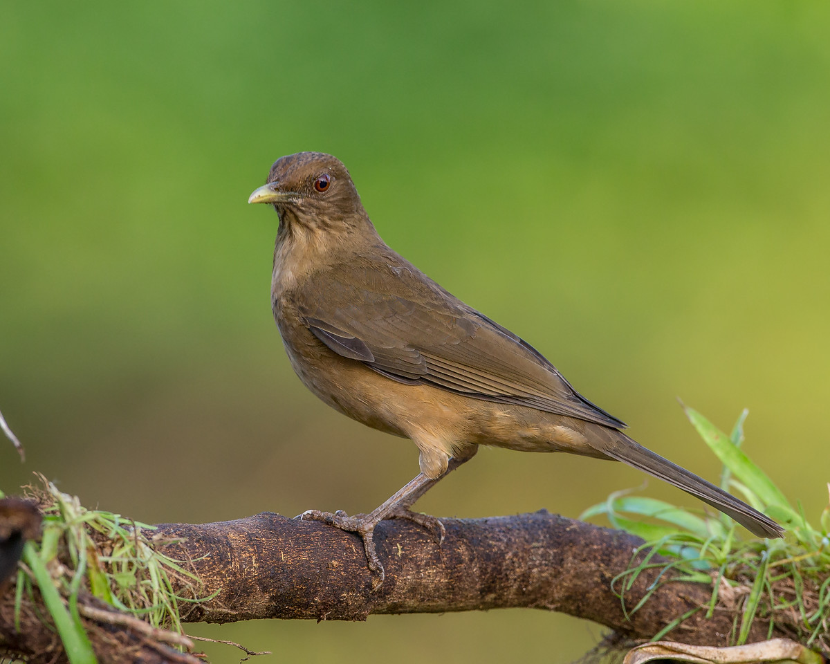 Clay-colored Robin (or thrush).  Costa Rica's National Bird.