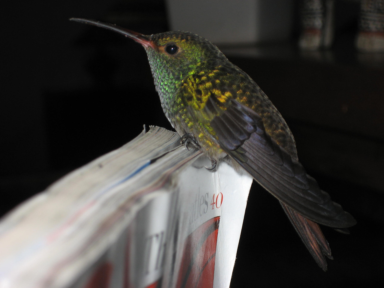 "A library is sometimes a trap.  Rufous-tailed Hummingbird -- Amazilia tzacatl<br /> <br /> ""If you will stay close to nature, to its simplicity, to the small things hardly noticeable, those things can unexpectedly become great and immeasurable."" ~ Rainer Maria Rilke (Letters to a Young Poet)"