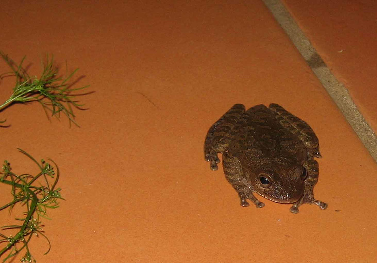 Mexican Treefrog -- Smilisca baudinii
