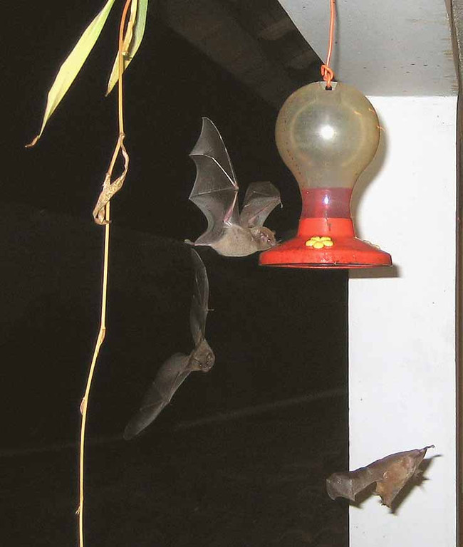 Pallas' Long-tongued Bat -- Glossophaga soricina<br /> <br /> Bats are by far the most numerous mammals in Costa Rica.  Home to 110 different species, the greatest concentration of bat diversity in the world.