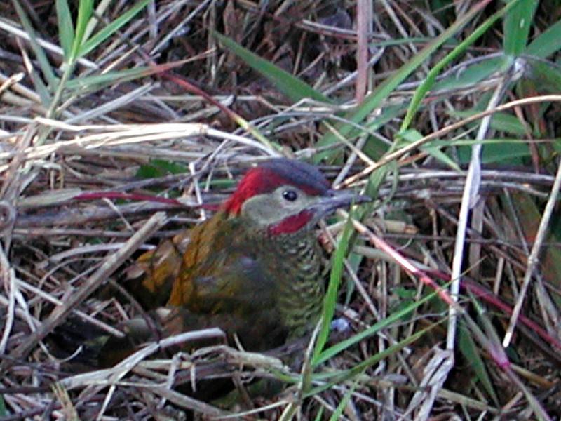 Golden-olive Woodpecker -- Colaptes rubiginosus, Carpintero Dorado Verde.