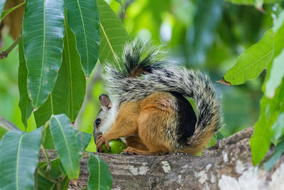 Costa Rican Squirrel