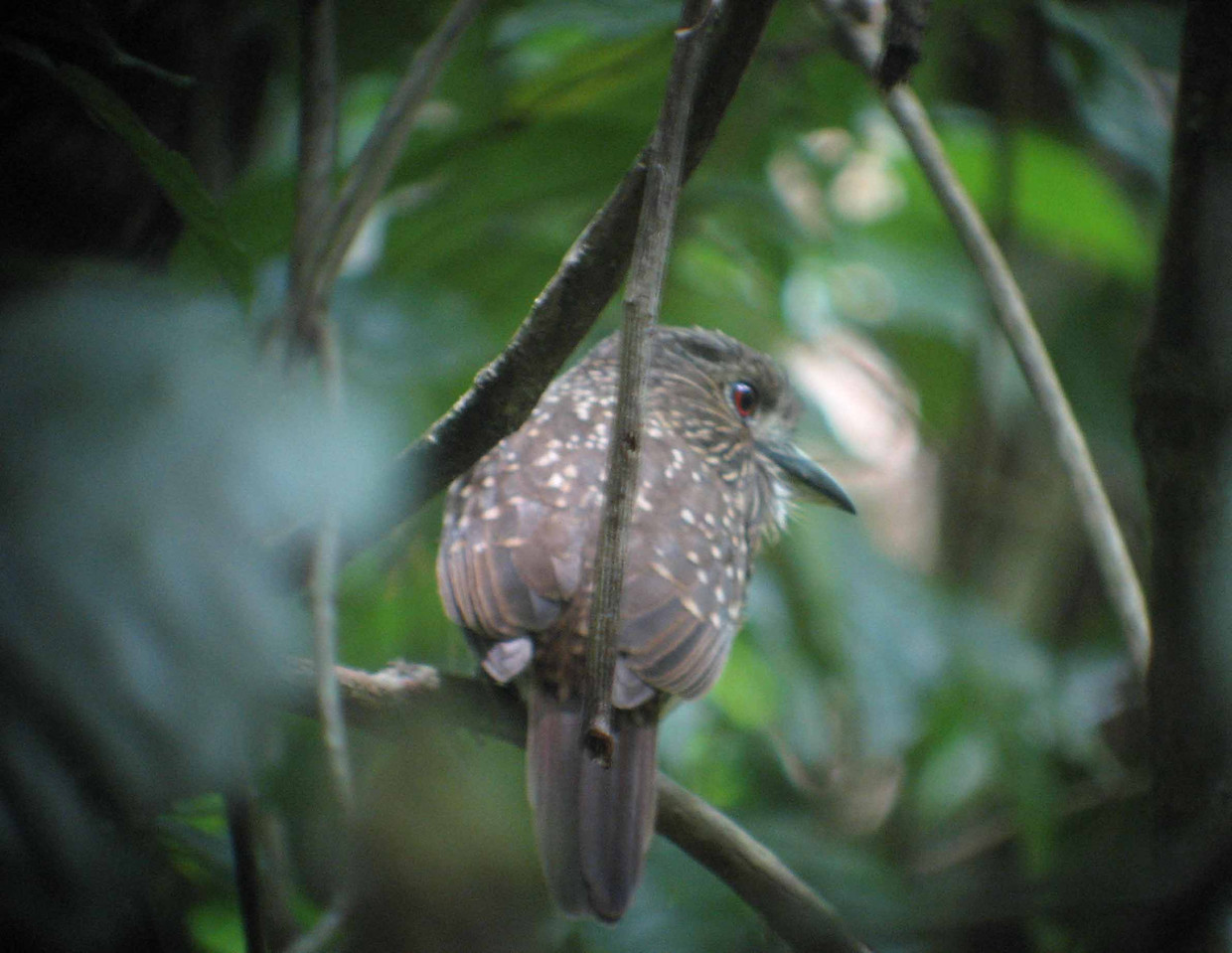 "White-whiskered Puffbird -- Malacoptila panamensis -- Buco Barbon<br /> <br /> ""I am convinced that most Americans have no idea of what a decent forest looks like.  The only way to tell them is to show them."" ~ Aldo Leopold"