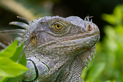 Tamarindo Green Iguana