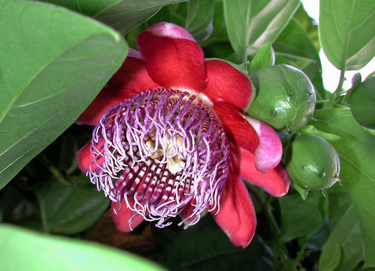 "Passion Flower and fruit -- Passiflora incarnata<br /> <br /> ""If we do not permit the earth to produce beauty and joy, it will in the end not produce food, either."" ~ Joseph Wood Krutch"