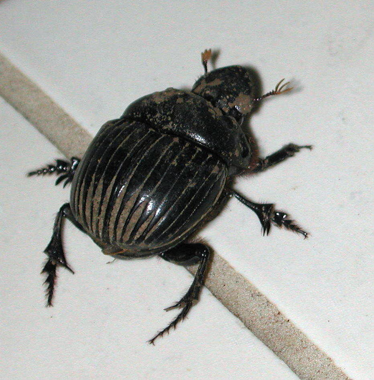 "Dung Beetle, Scarabaiedae family<br /> <br /> egyptian term 'kheper' (khpr) associated with ""transformation"" on the hieroglyphs of the pharaohs translates into Greek as 'epiphanous', closer to ""manifesting."""