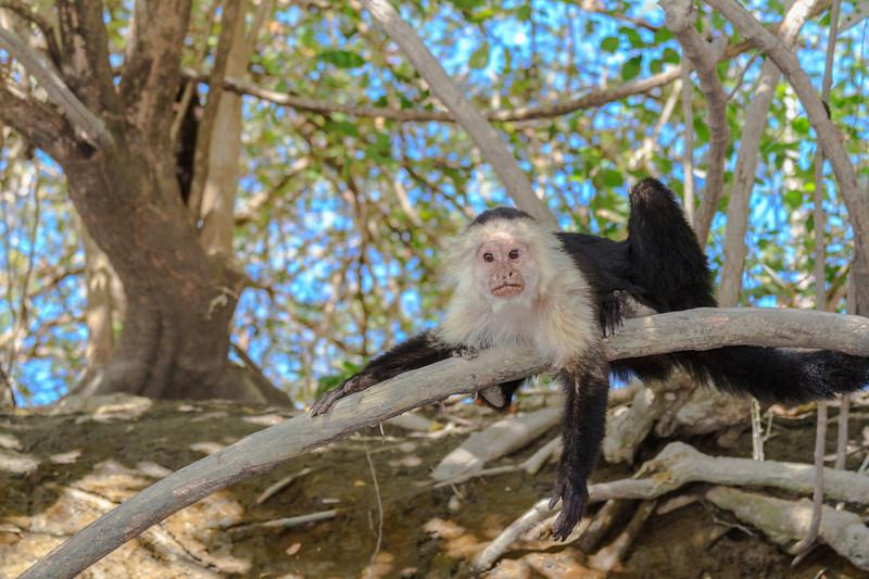 Chillin Capuchin