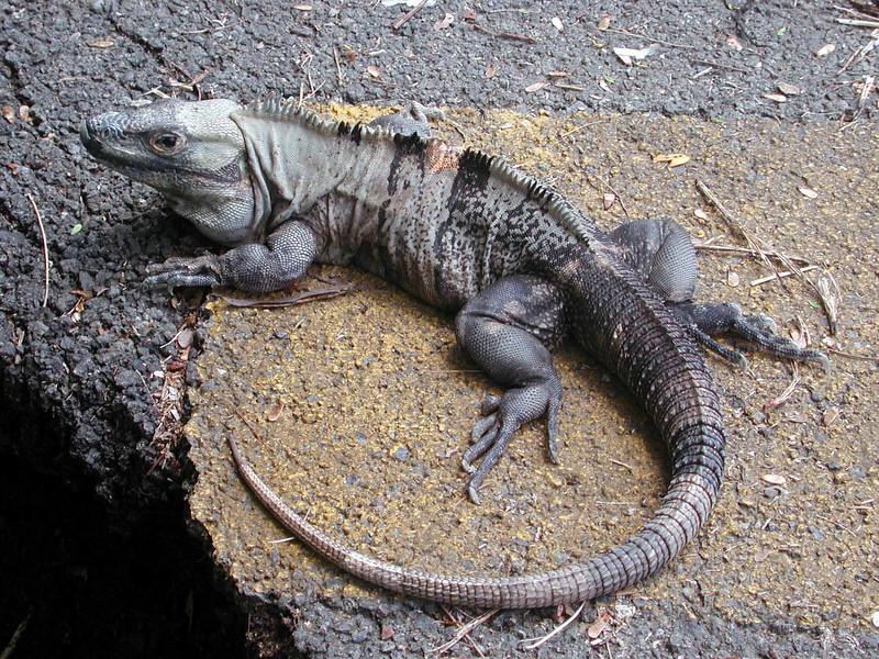 Ctenosaur (m) -- Ctenosaura similis