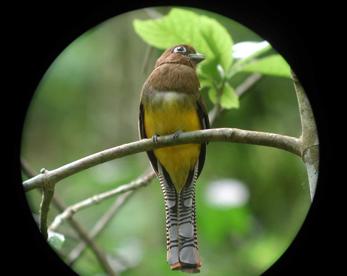 Black-throated Trogon (f) -- Trogon rufus -- Sorucua Amarillo.