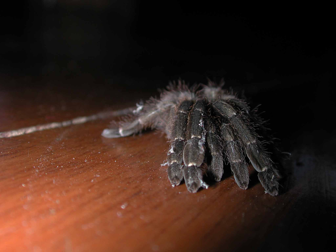 i found this Tarantula in my shoe one morning the slightly scary way by pulling it out with my hand.  better than three shots of espresso.