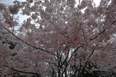 050407 2715 USA - Washington DC - Cherry Blossoms _D _E _I ~E ~L