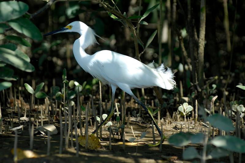 080119 9510B Costa Rica - Manuel Antonio - Mangroves Boat Tour _E _L _G ~E ~L