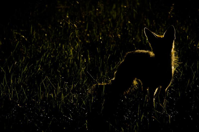 Red fox, Vulpes vulpes, baclit near Pincher Creek, Alberta, Canada.