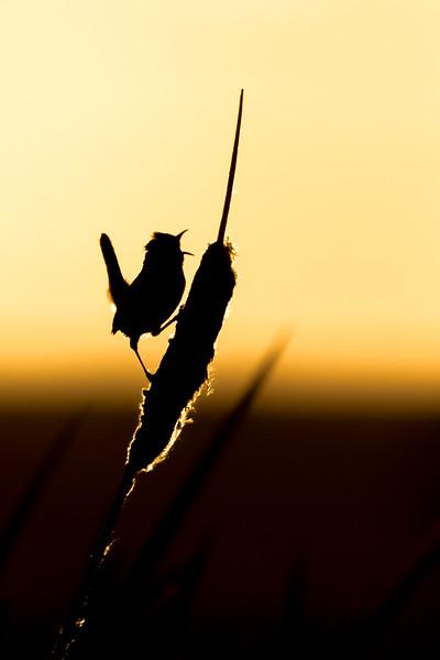 Marsh wren, Cistothorus palustris, singing from cattail near Dawson Creek, British Columbia, Canada.