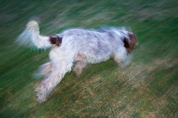 It's All Just A Crazy Blur To Me....Spinone in Motion