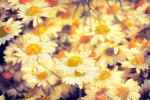 Gathering of Yellow Daisies