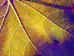 Leaf in Purple and Yellow