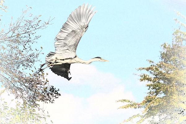 Grey Heron in flight - River Thames from a canoe