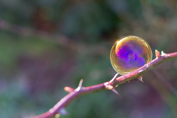 The iridescent colours of soap film - Bubble on Rose Thorn