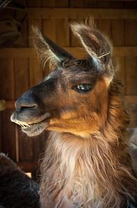 Llama Looker