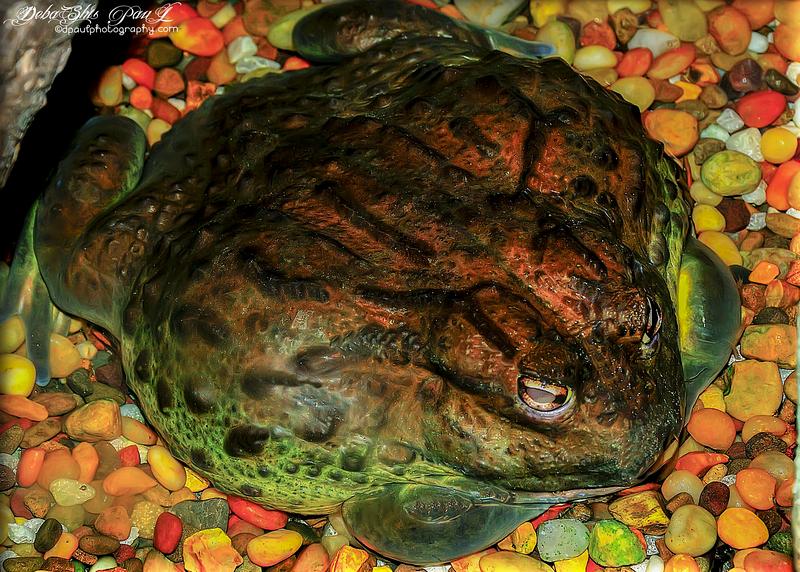 The giant and dangerous Frog  @ Georgia Aquarium - Atlanta , Georgia - USA