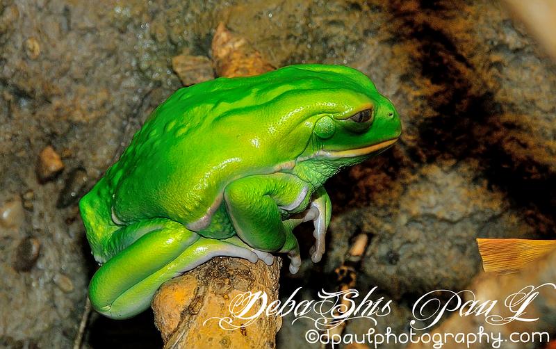 "Frog - ""The Chorus of Colors""  inside Georgia Aquarium - Atlanta, Georgia - USA"