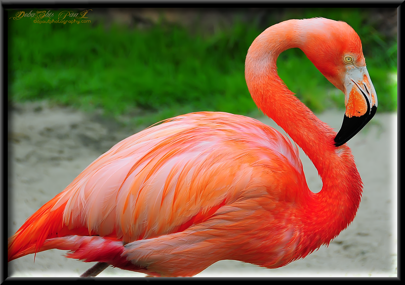 My Favorite Flamingo .... @ Sea World , Orlando - Florida, USA