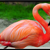 My Favorite Flamingo .... @ Sea World , Orlando - Florida, USA
