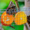 Colorful Queens .... @ Callaway Garden Butterfly Center - Pine Mountain , Georgia - USA